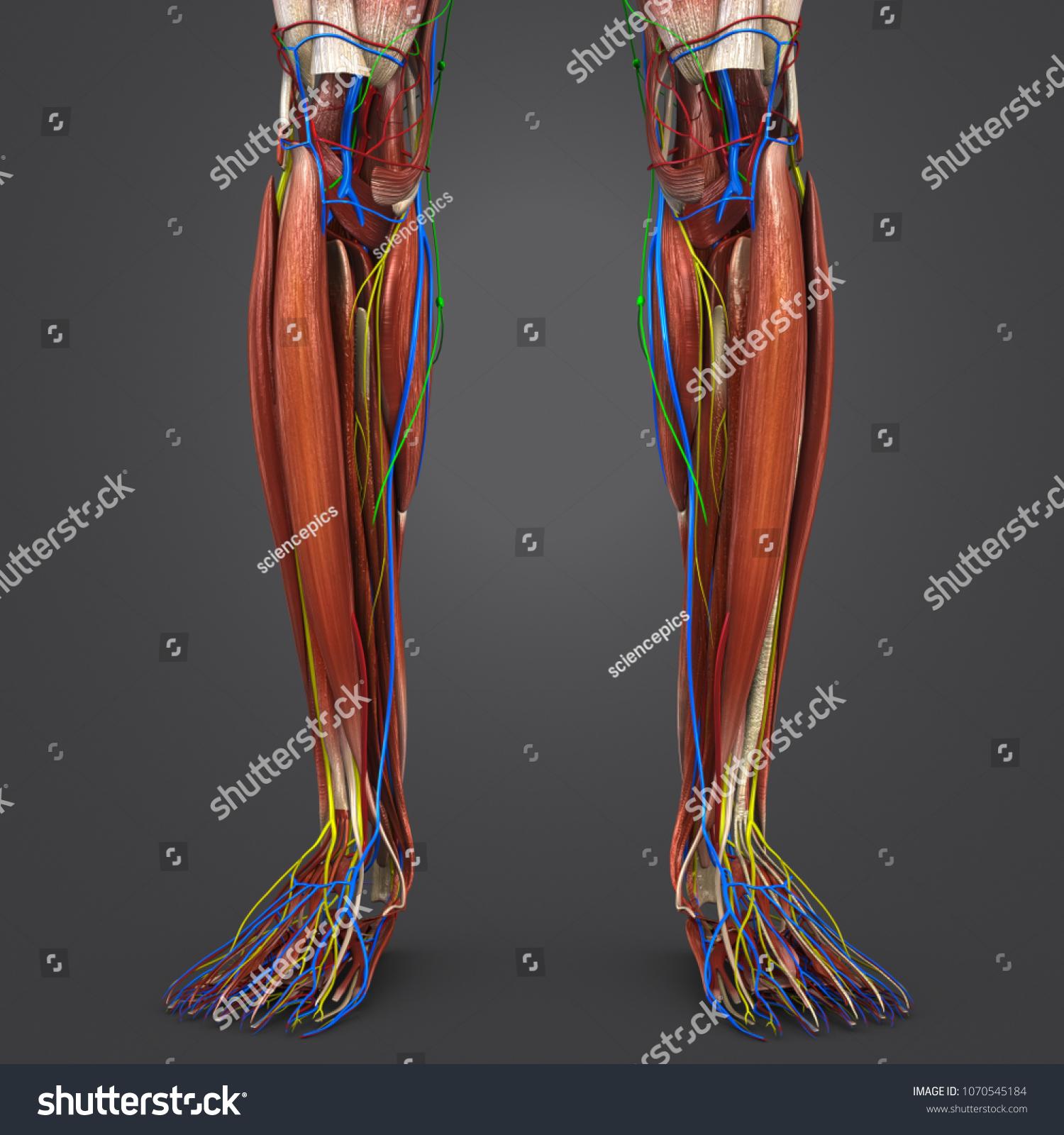 Legs Muscle Anatomy Arteries Veins Nerves Stock Illustration