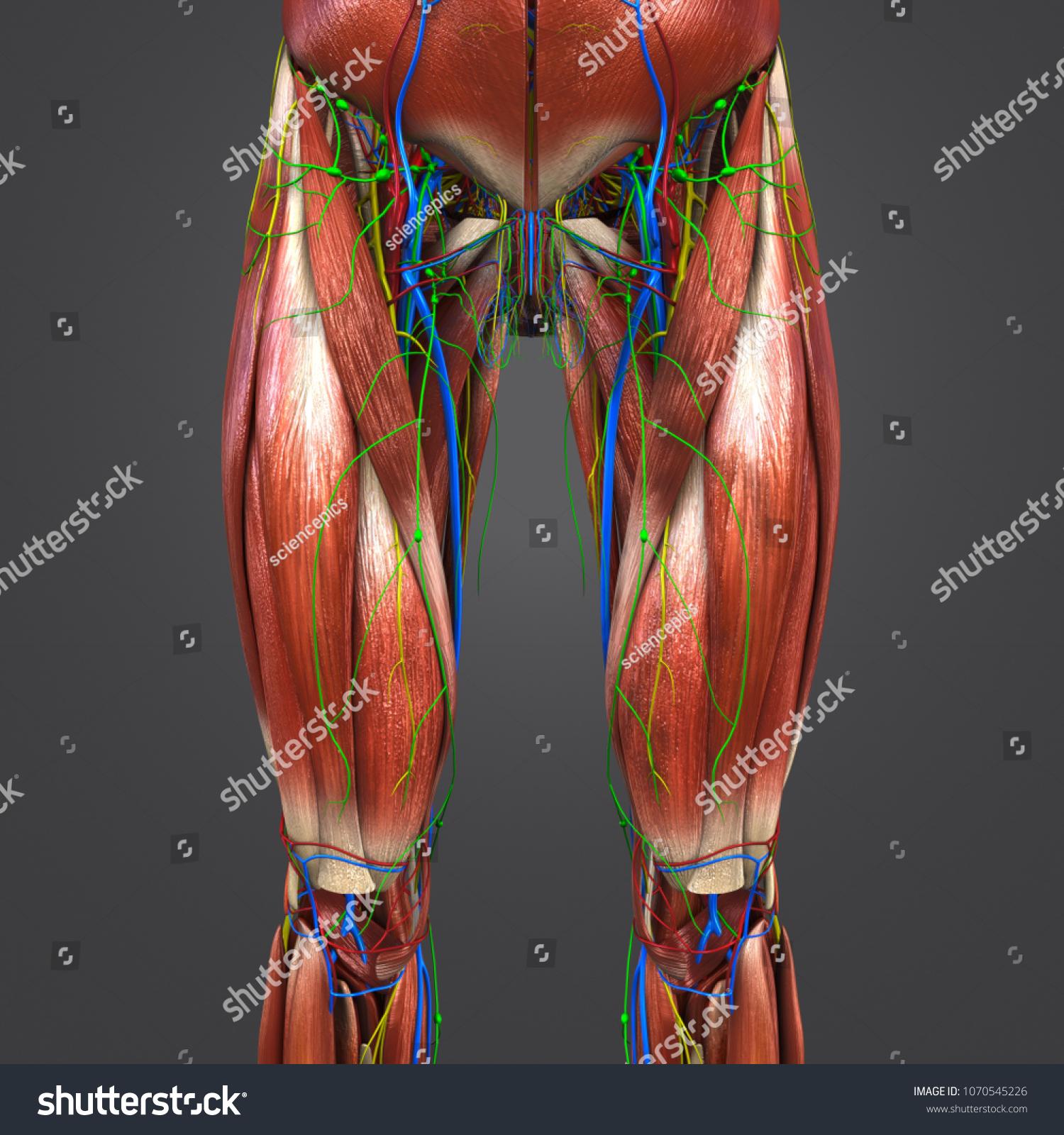 Lower Limbs Muscle Anatomy Arteries Veins Stock Illustration ...