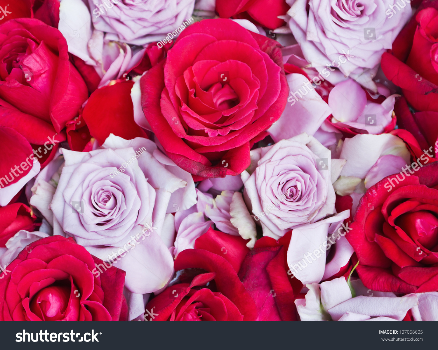 background roses different varieties colors stock photo 107058605 shutterstock. Black Bedroom Furniture Sets. Home Design Ideas