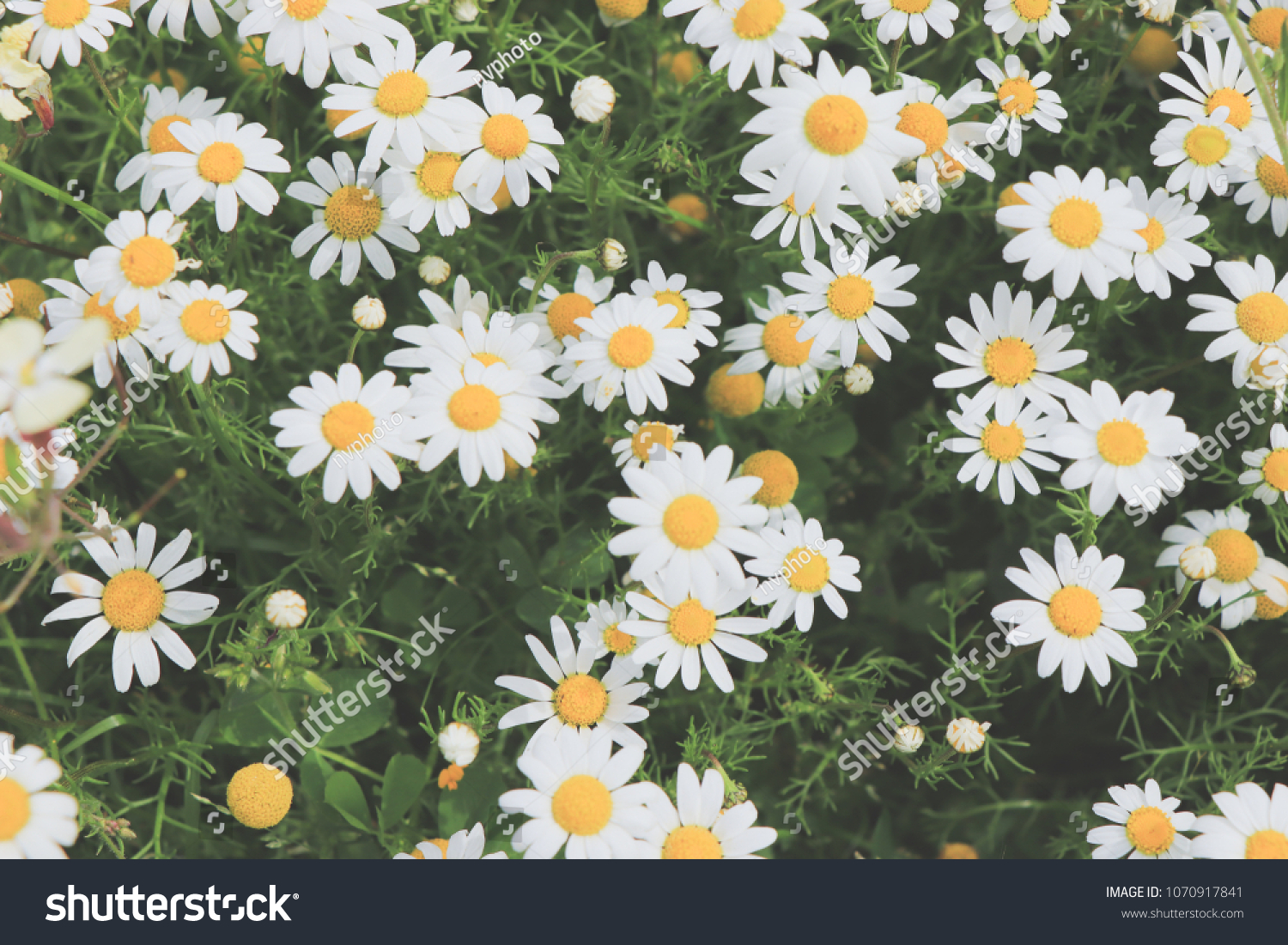 Large Field Daisies Flowers Background Spring Stock Photo Edit Now