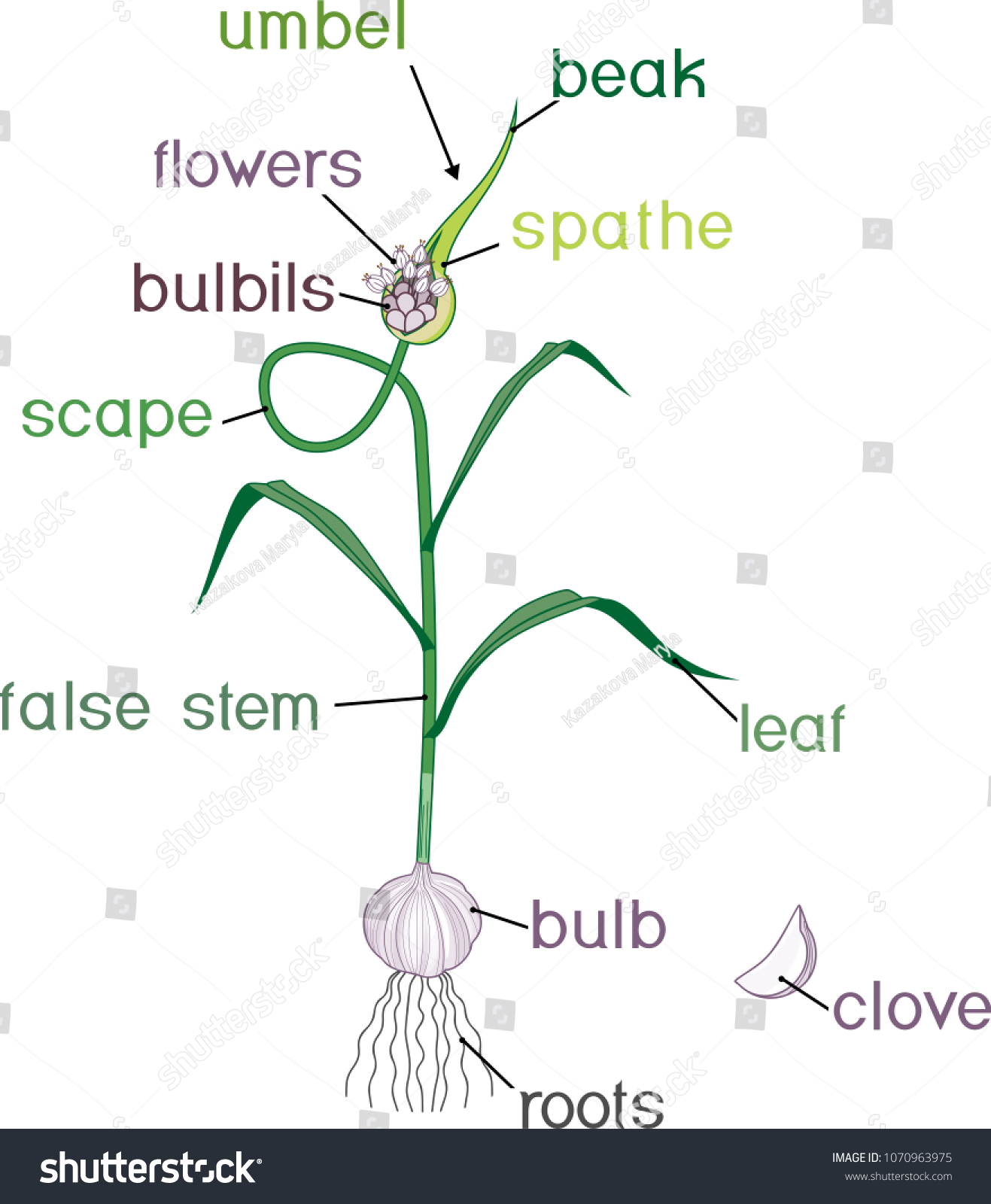 stock vector parts of garlic plant morphology of plant with titles 1070963975 parts garlic plant morphology plant titles stock vector (royalty