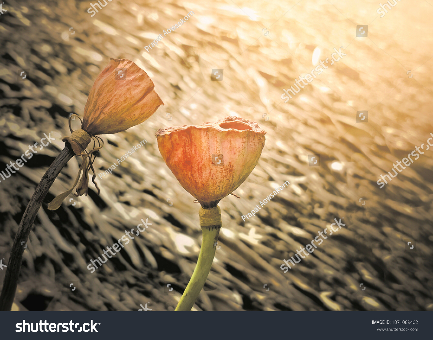 Close dried lotus flowers withered blur stock photo royalty free close dried lotus flowers withered blur stock photo royalty free 1071089402 shutterstock mightylinksfo