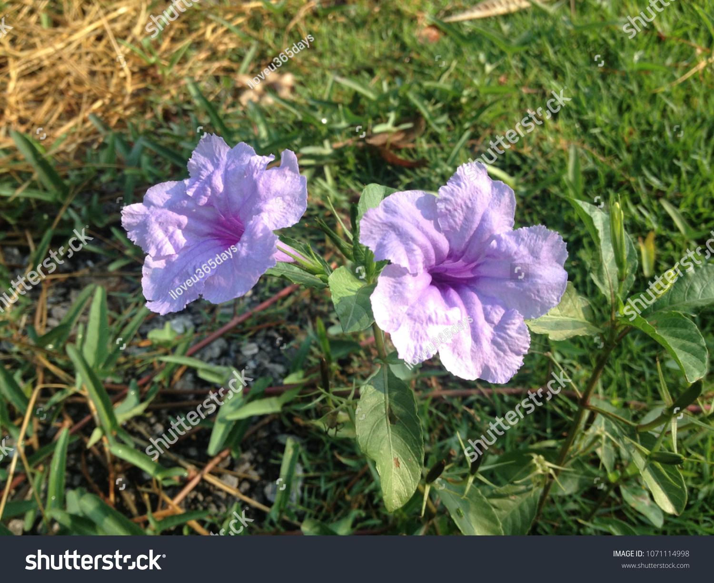 Doktoyting Thai Means Beautiful Flower Name Stock Photo Edit Now