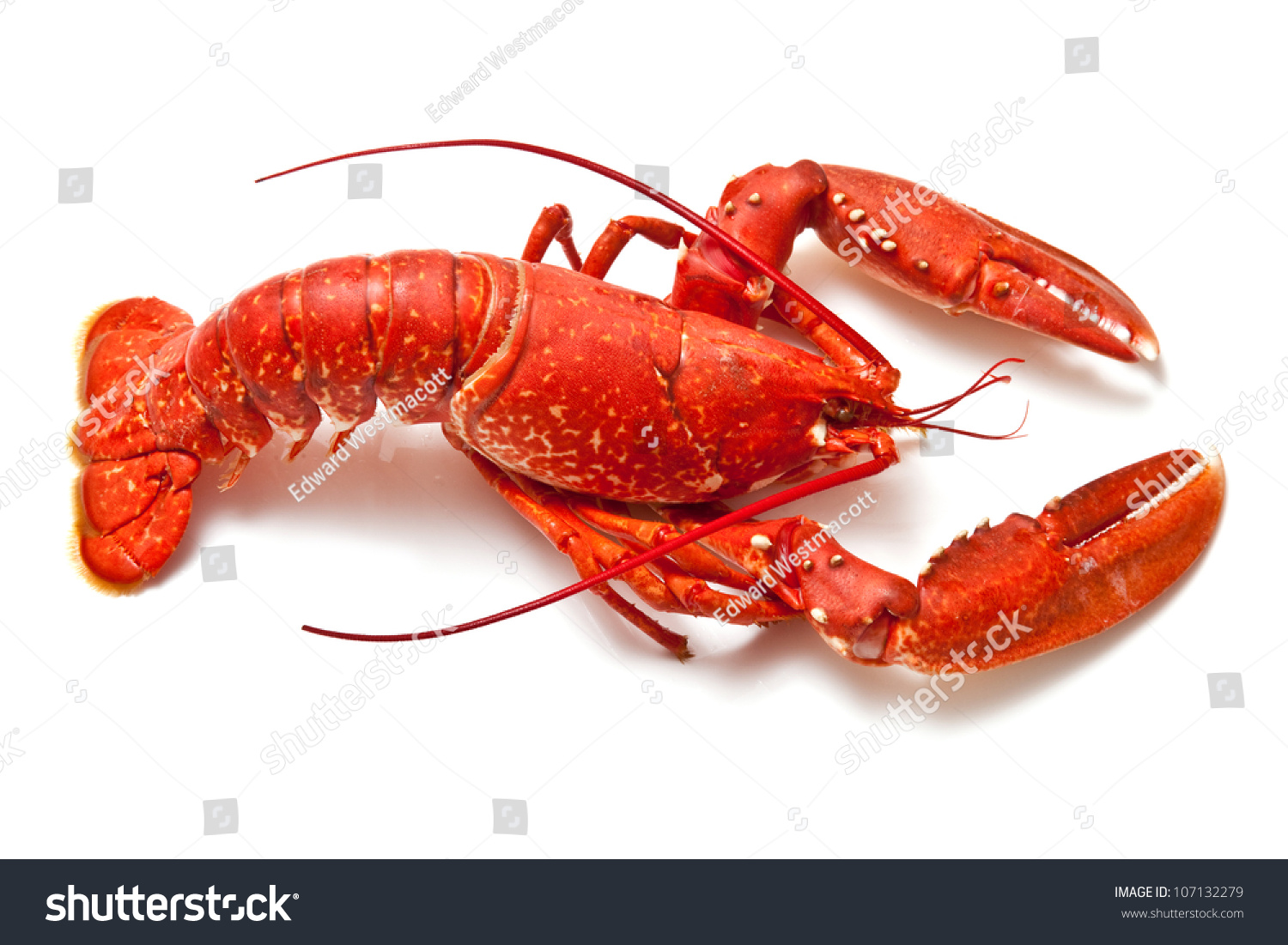 Cooked European Common Lobster Isolated On Stock Photo 107132279 - Shutterstock