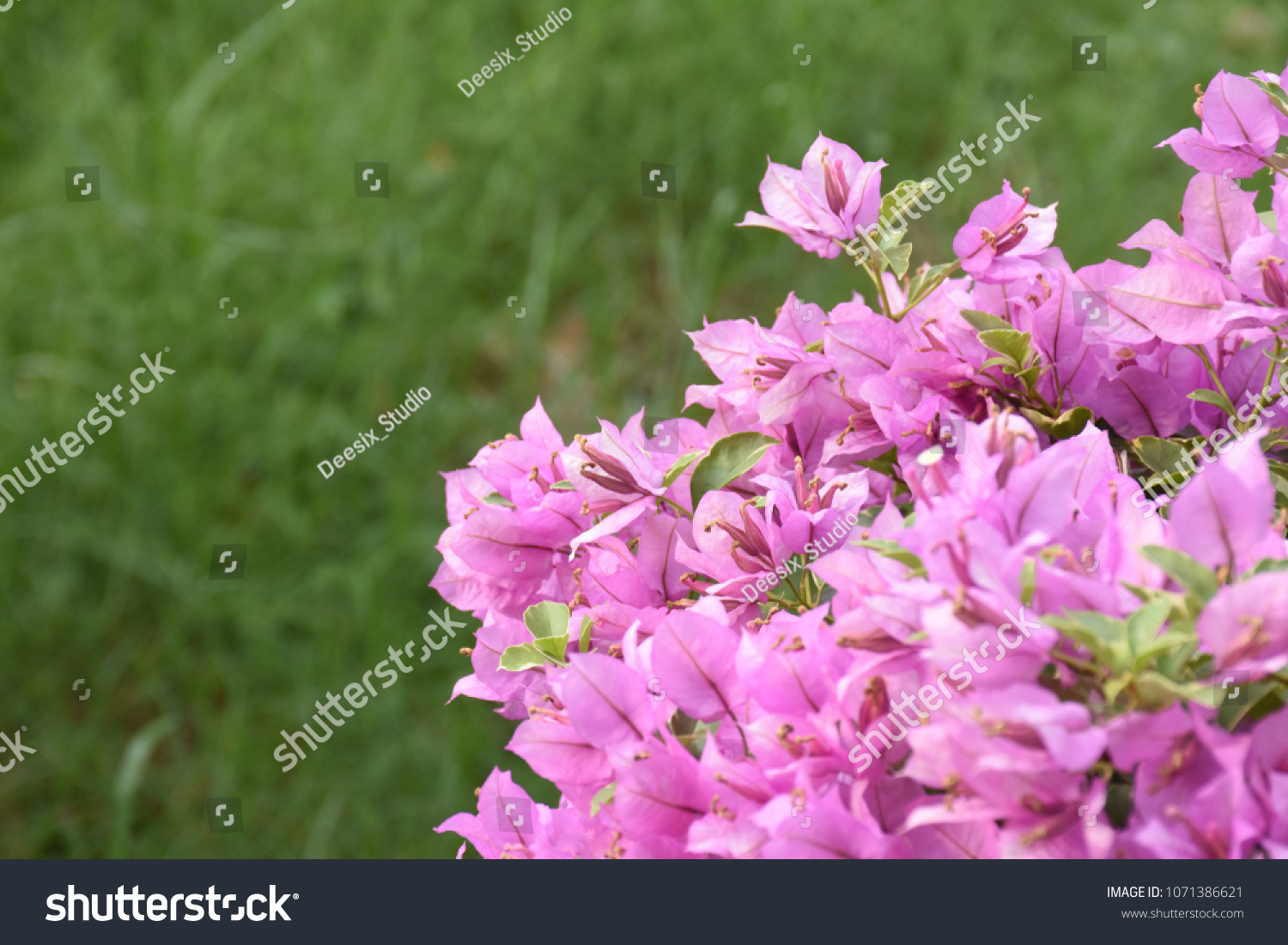 Beautiful Colorful Spring Flower Bougainvillea Branches Closeup