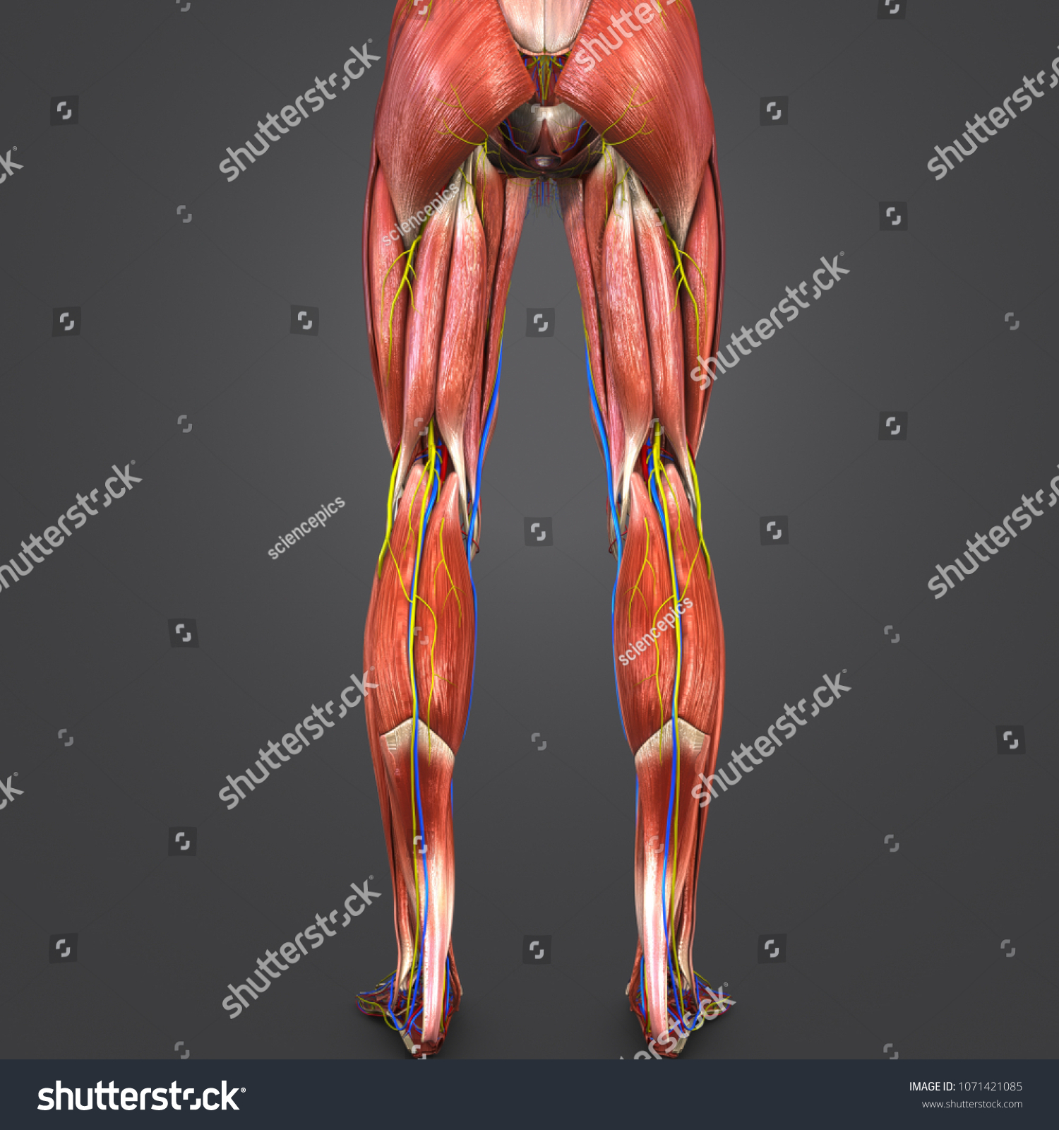 Lower Limbs Muscles Anatomy Arteries Veins Stock Illustration ...