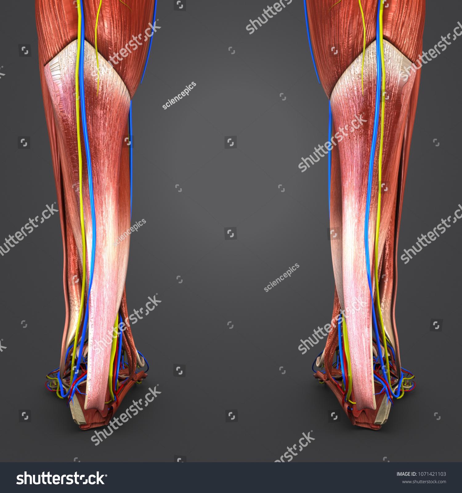 Legs Muscles Anatomy Arteries Veins Nerves Stock Illustration