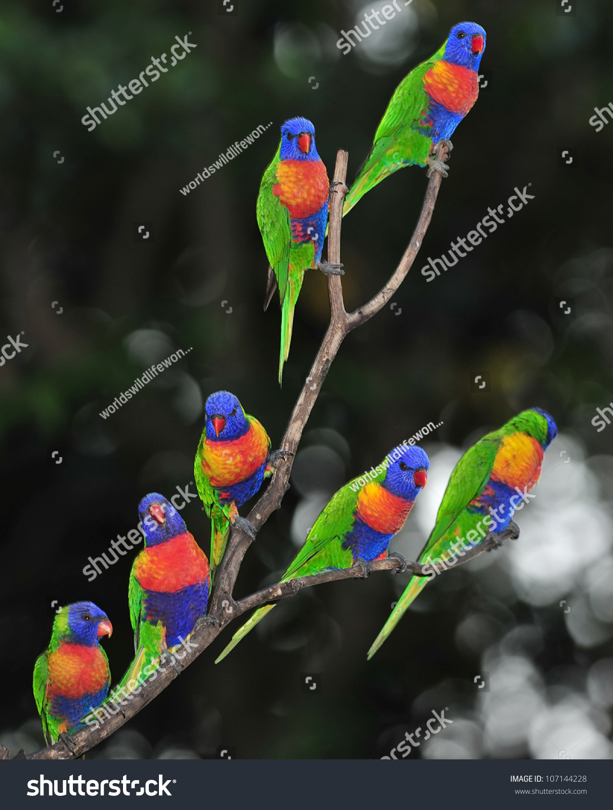 Tree , Byron Bay, Australia. Group Flock Colorful Parrots Exotic Birds ... Group Of Colorful Birds