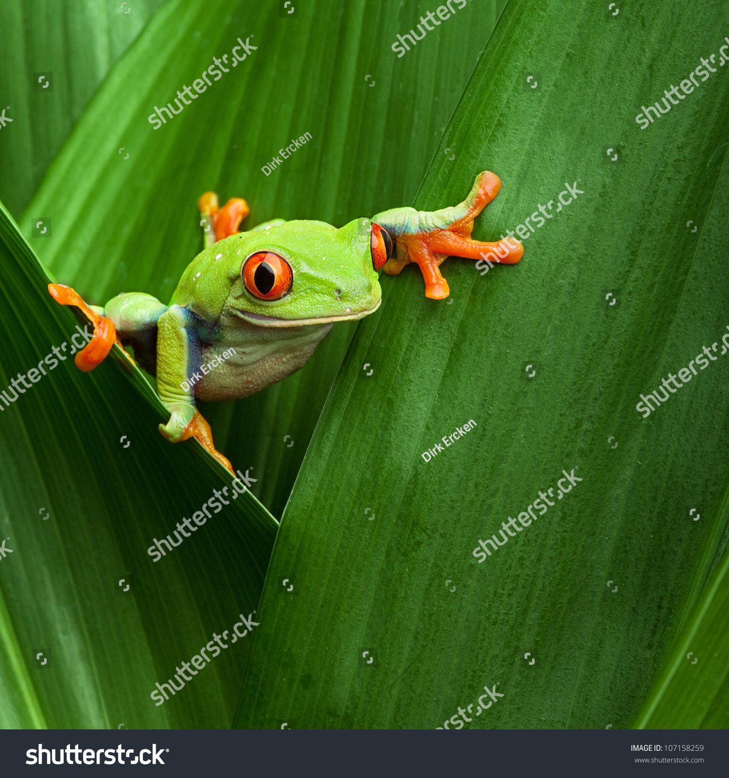 red eyed tree frog crawling between stock photo 107158259
