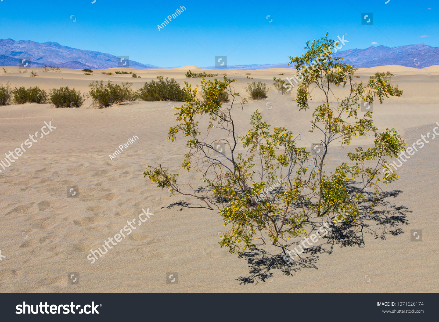 Small Tree Yellow Flowers Mesquite Flat Stock Photo Edit Now