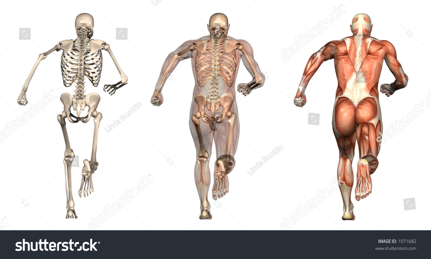 Series Three Anatomical 3 D Renders Depicting Stock Illustration