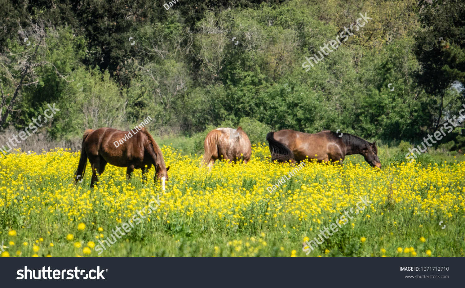 Horses graze in a pasture of yellow wildflowers on a ranch in the hills of Monterey, California.