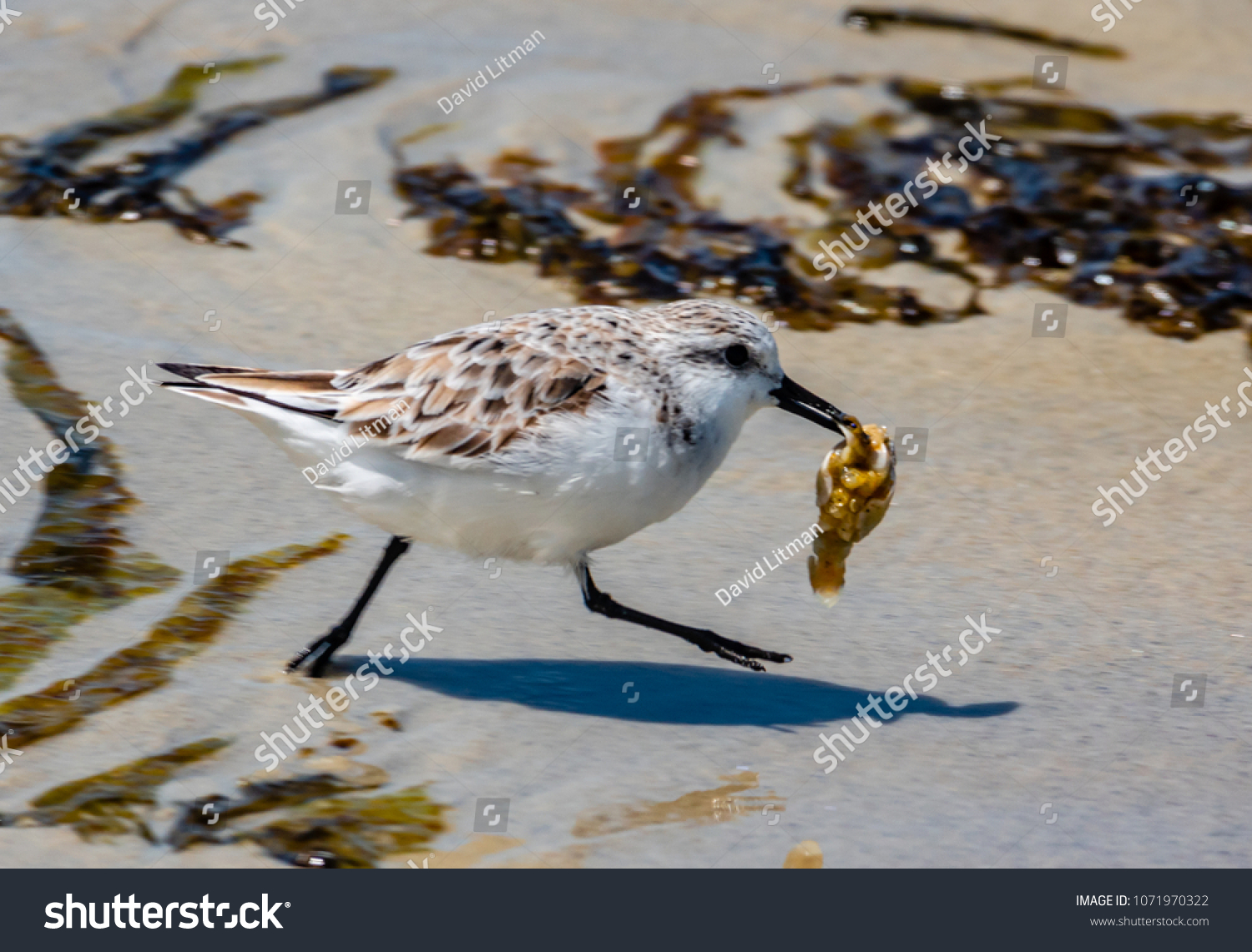 A Western Snowy Plover with a tasty seafood morsel, flees from the flock to enjoy its feast at Asilomar Beach in Pacific Grove, California, near Carmel, along the Monterey Bay of the central coast.