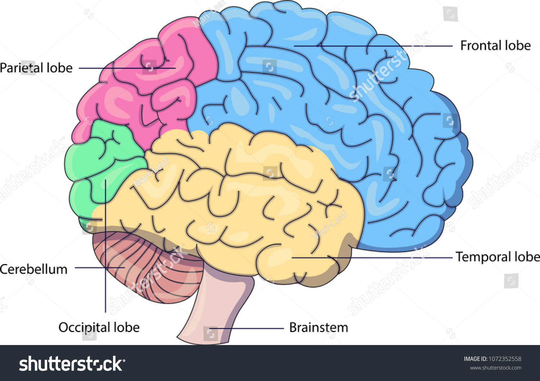 Schematic Vector Diagram Brain Labeled Parts Stock Vector Royalty