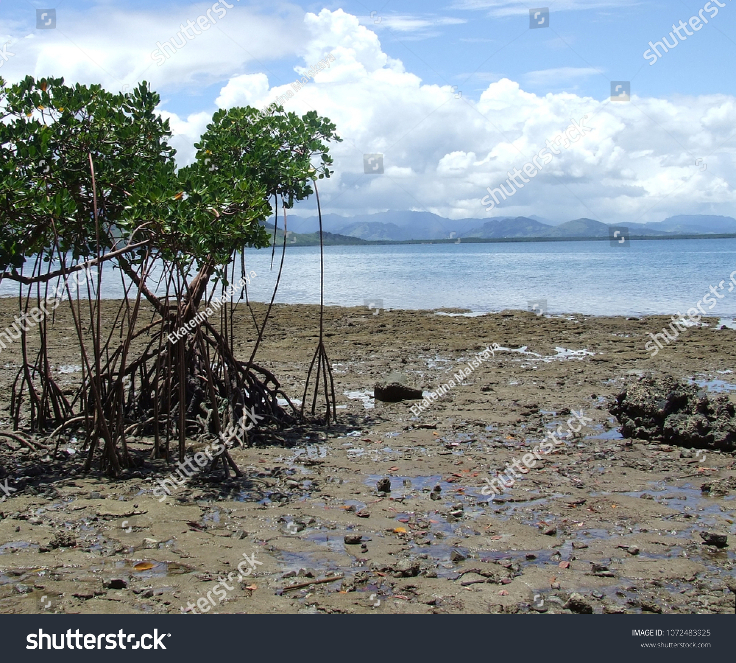 04b5fec0d54fb3 Vorovoro island, Macuata province, Fiji - October 2007: Mangrove trees with  aerial roots