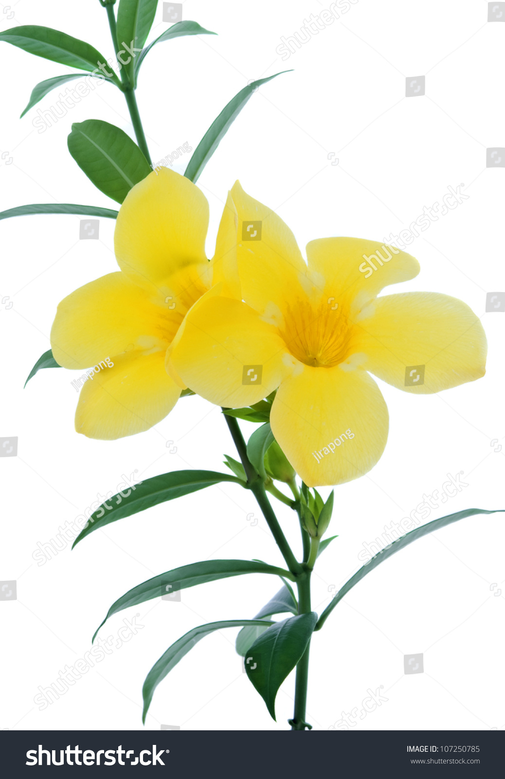 Allamanda Golden Trumpet Beautiful Yellow Flower Stock Photo Edit