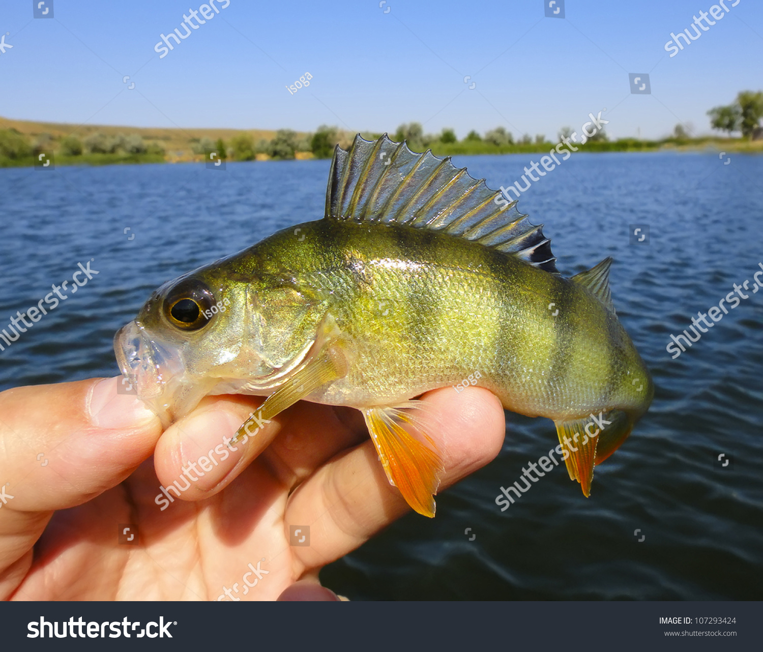 Image gallery perch fish for Perch fish facts