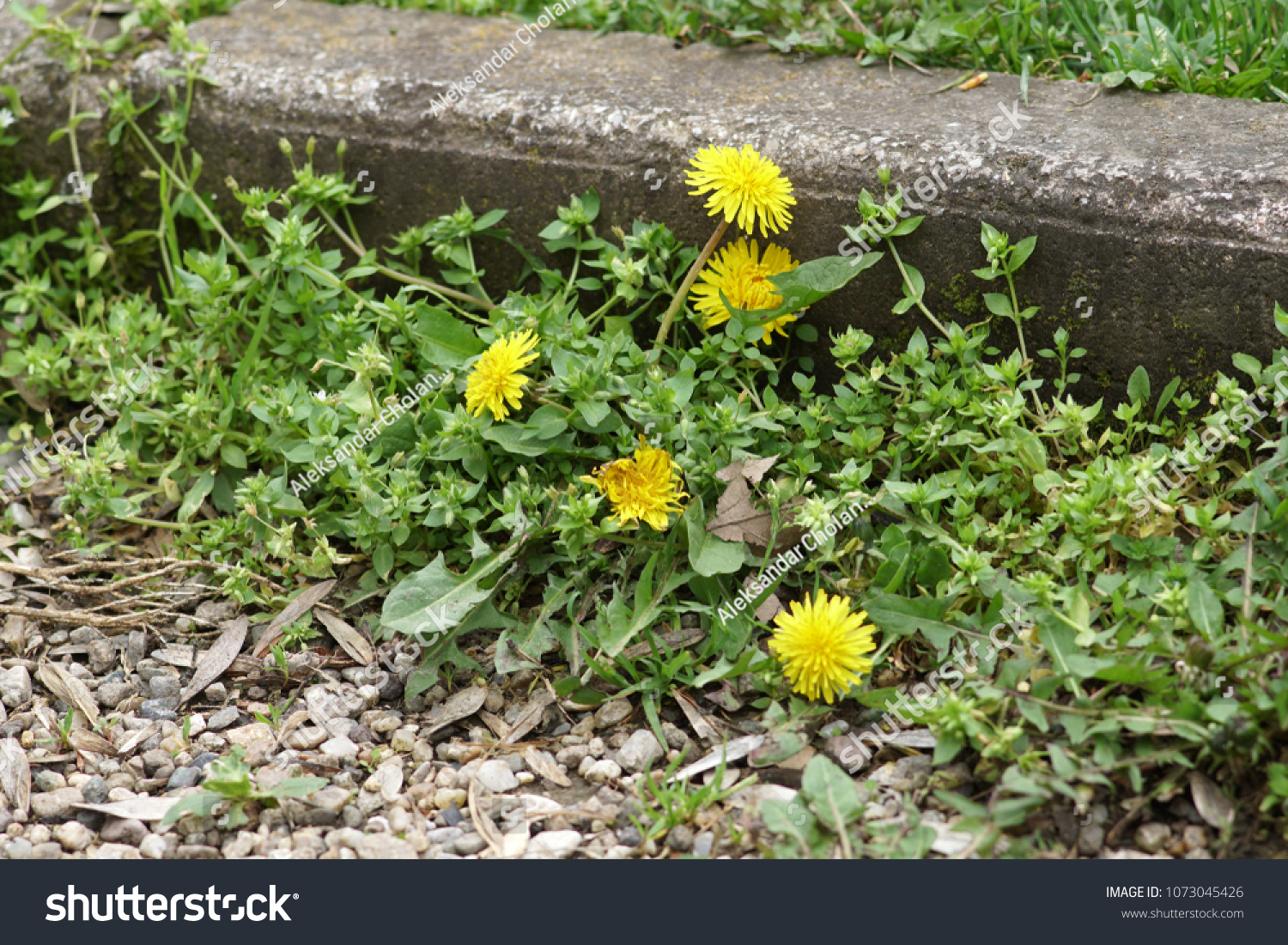 Weeds Growing On Courtyard Dandelion Grass Stock Photo Edit Now