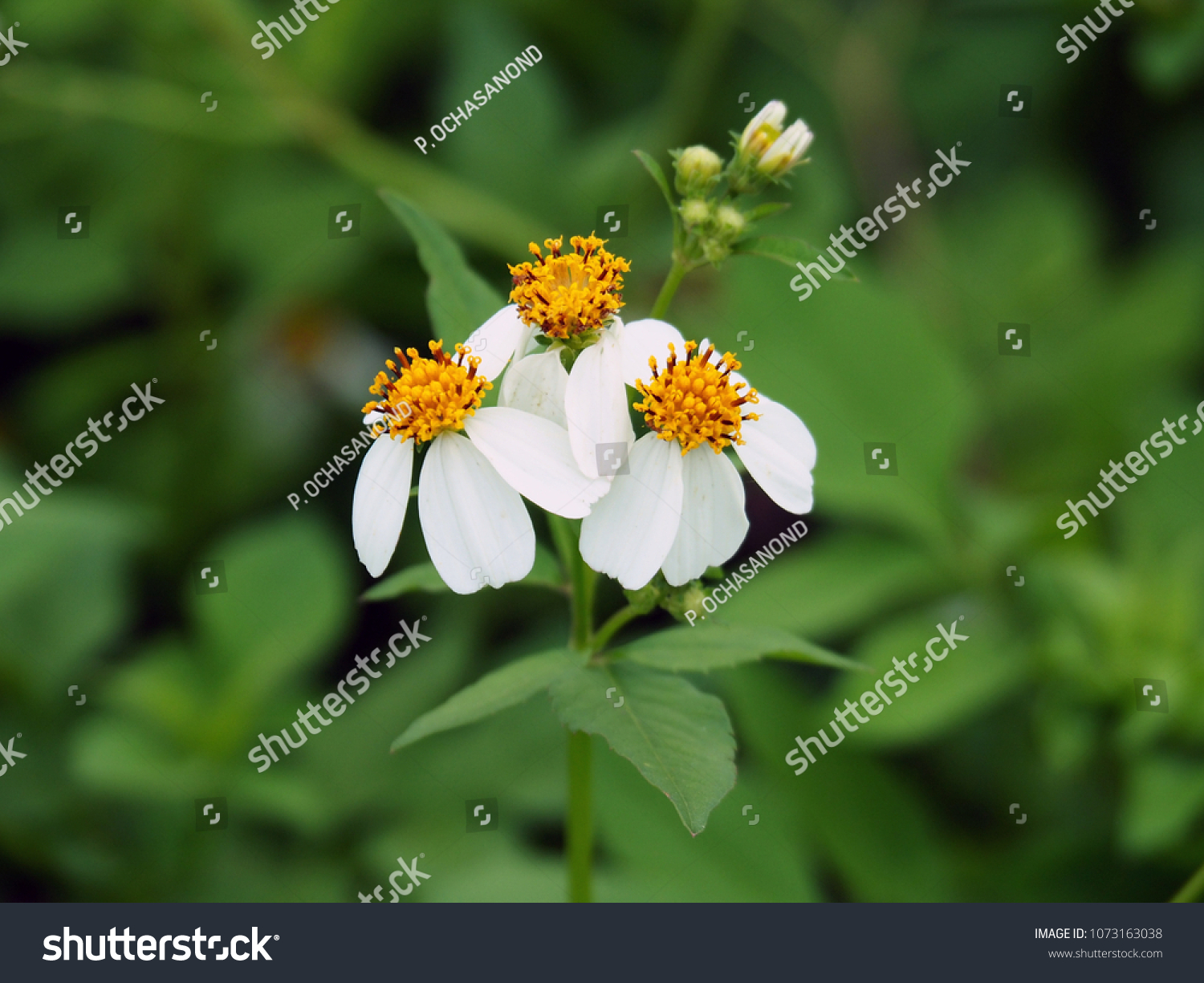 Small White Flowers Bright Yellow Stamen Stock Photo Edit Now