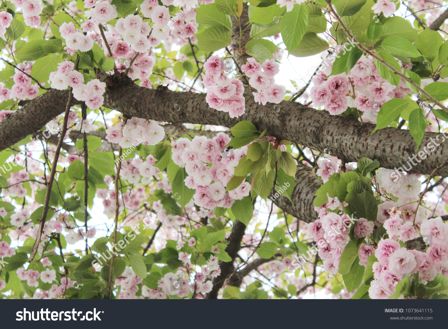 Blossoming Tree Pink White Flowers Springtime Stock Photo Edit Now