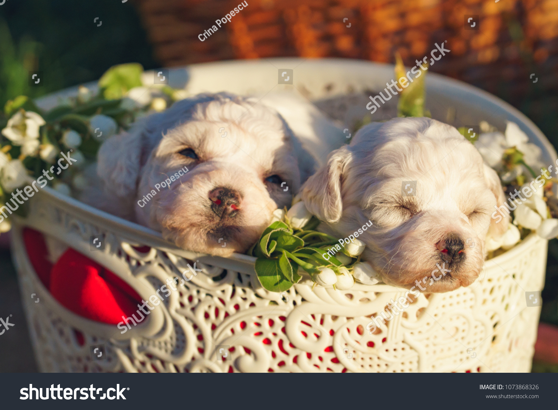 Cute Bichon Frise Puppies Babies Angels Stock Photo Edit Now 1073868326