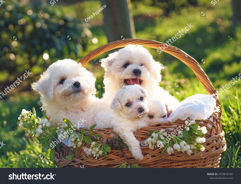 Cute Bichon Frise Puppies Babies Angels Stock Photo Edit Now 1073870189