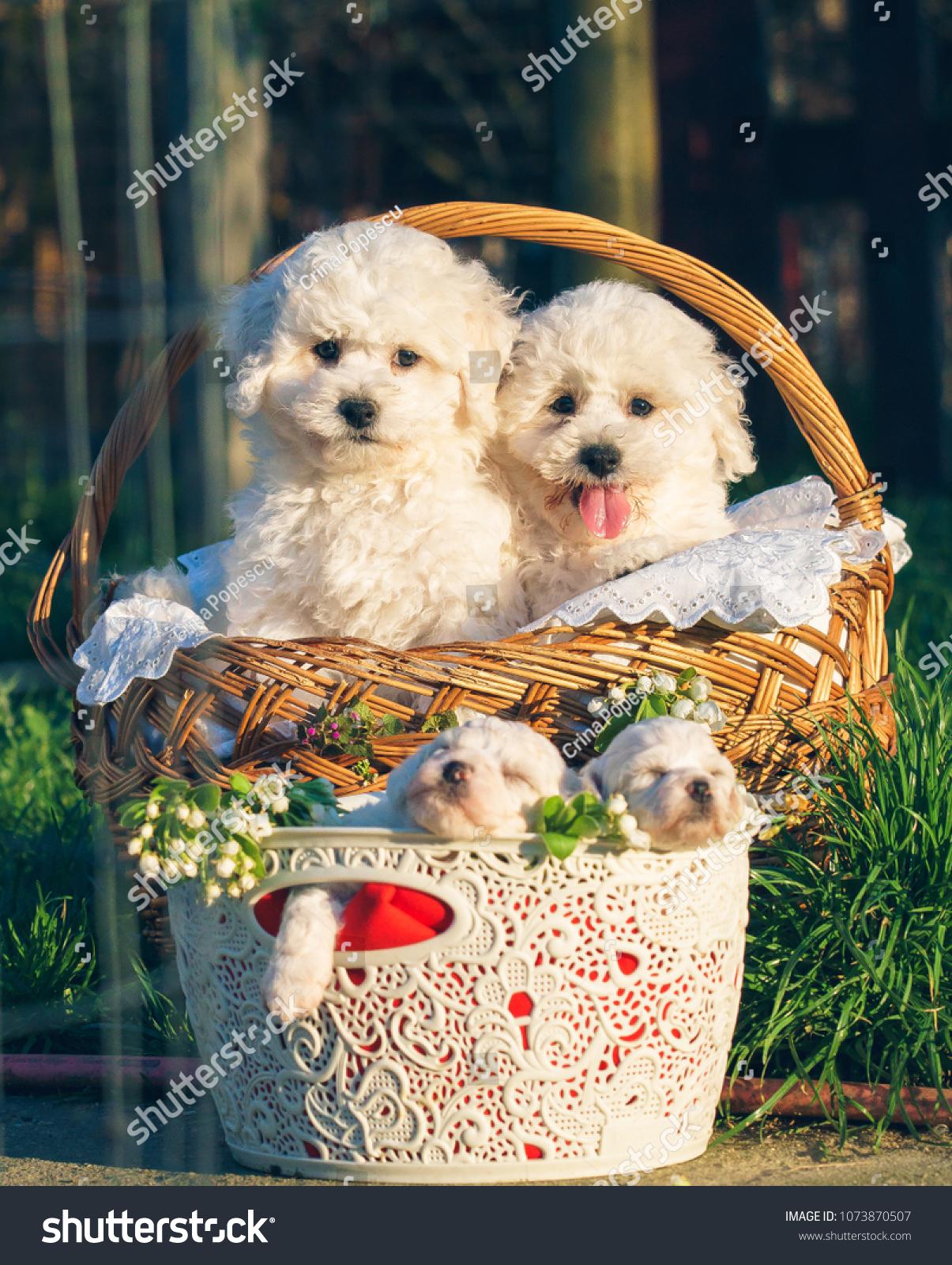 Cute Bichon Frise Puppies Babies Angels Stock Photo Edit Now 1073870507