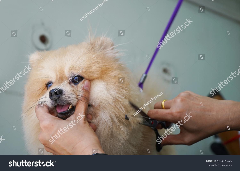 Grooming Hair Pomeranian Dog Haircut Dogs Stock Photo Edit Now