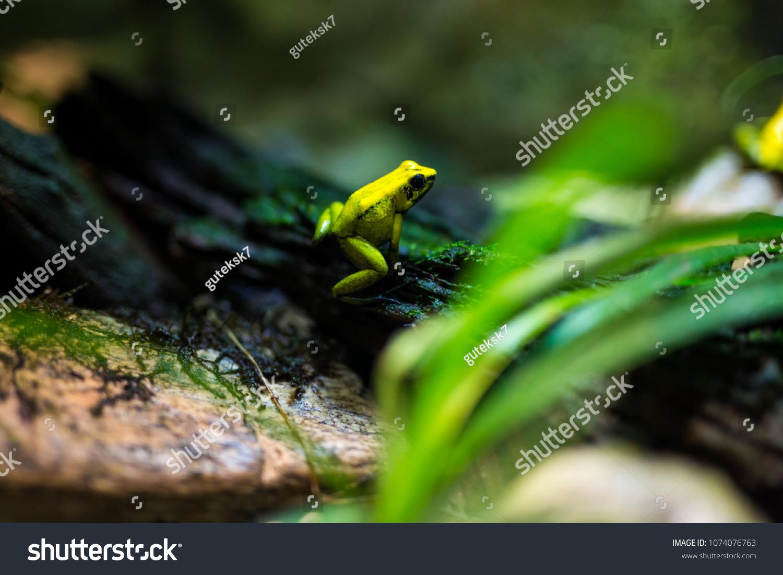 golden poison frog phyllobates terribilis stock photo edit now