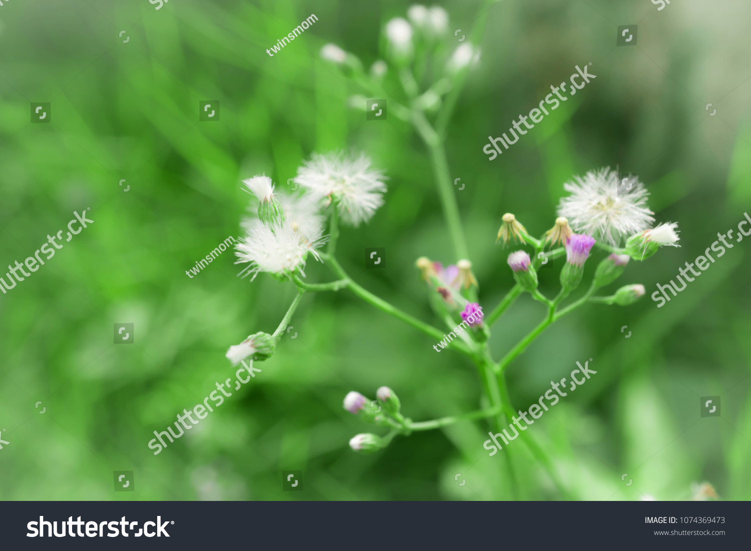 Blur White Flower Little Weed Little Stock Photo Royalty Free