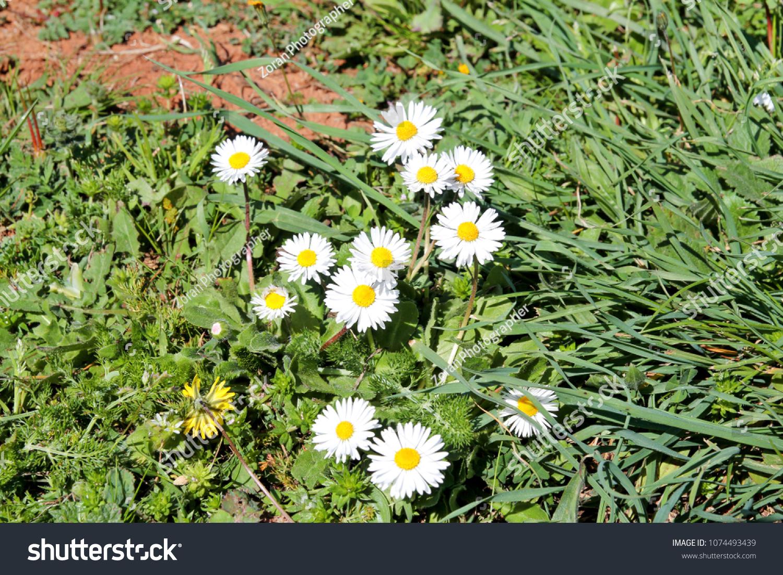 Daisy Beautiful White Field Daisies Flowers Stock Photo Edit Now