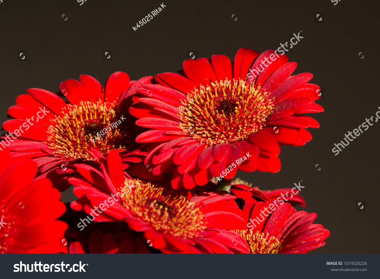 Red Mini Gerbera Flowers Bouquet Asteraceaedaisy Stock Photo Edit