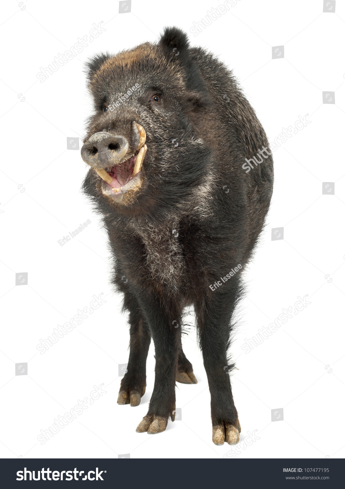 stock photo wild boar.