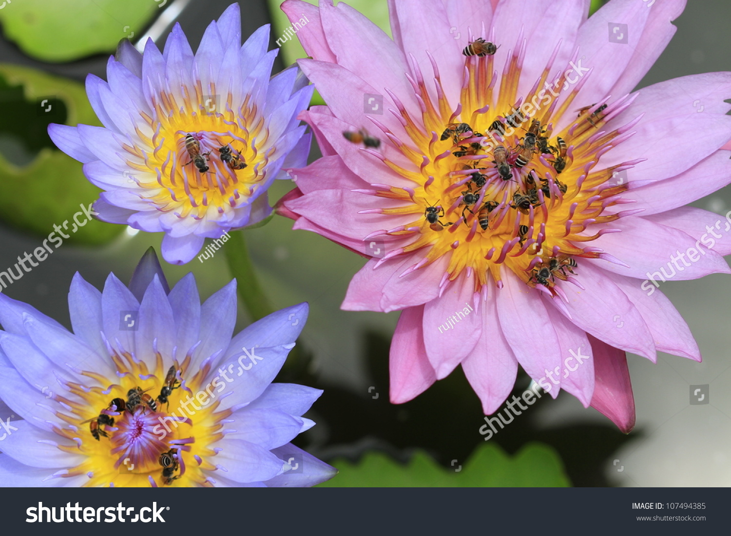 Bees Inside Lotus Flower Close Stock Photo Edit Now 107494385