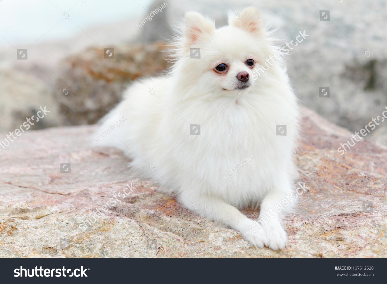Pomeranian fox face