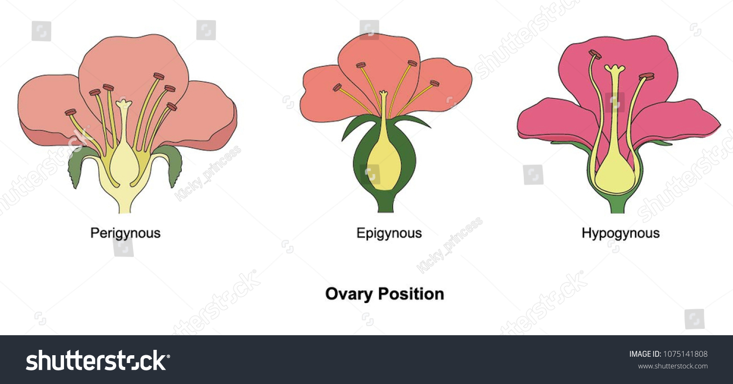 Illustration Ovary Position Stock Vector Royalty Free 1075141808