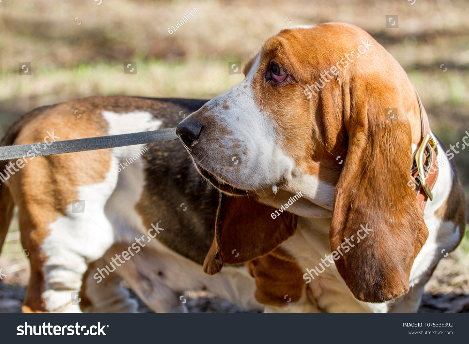 Basset Hound Breed Beagle Dogs Bred Stock Photo Edit Now 1075335392