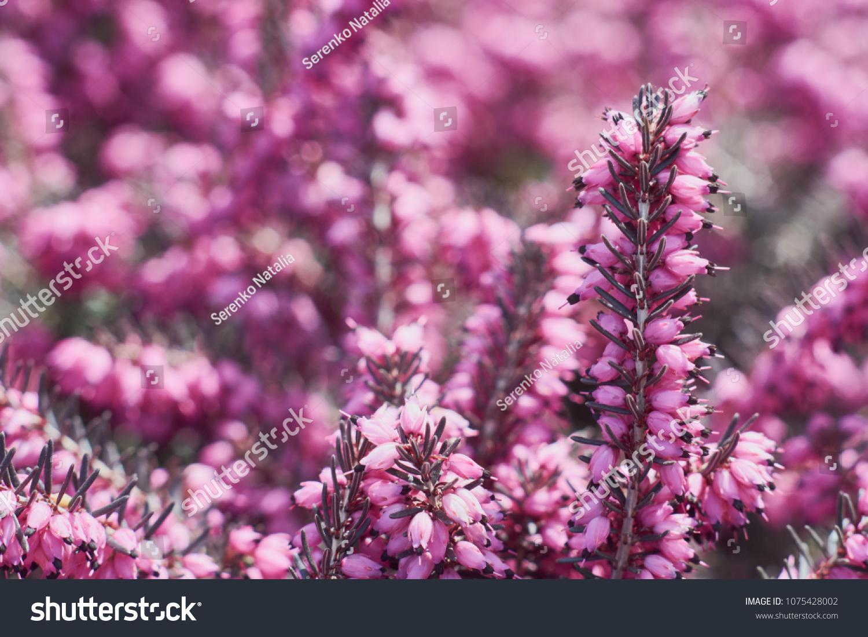 Erica Calluna Vulgaris Pink Winter Heath Stock Photo Edit Now