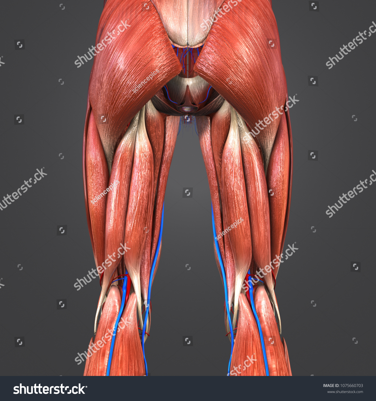 Lower Limbs Muscle Anatomy Arteries Veins Stock Illustration