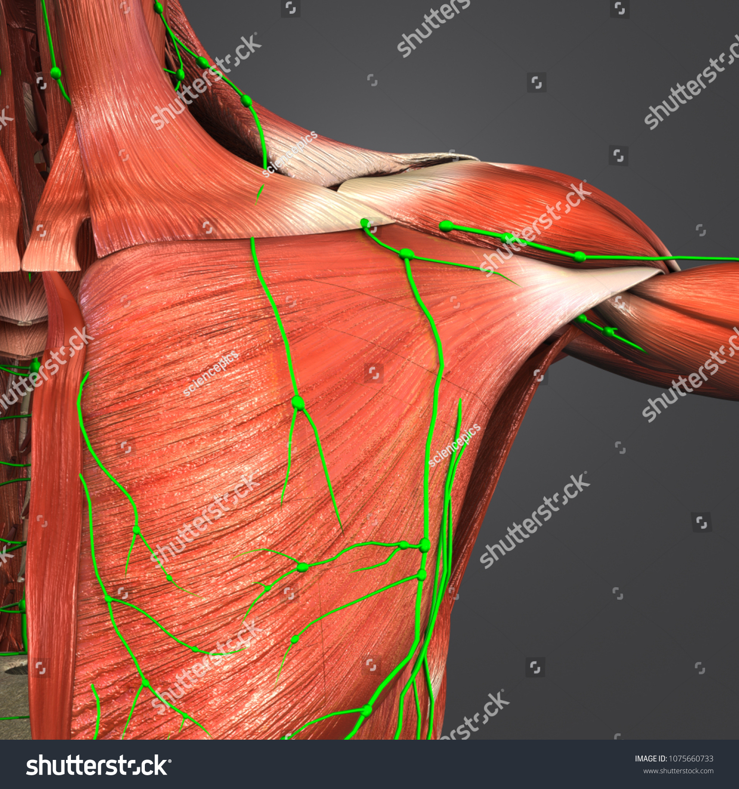Shoulder Muscle Anatomy Lymph Nodes Anterior Stock Illustration