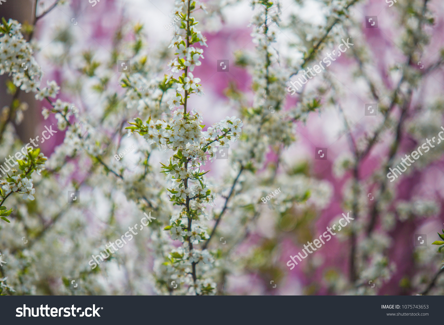 Blooming Trees Pink White Flowers Closed Stock Photo Edit Now