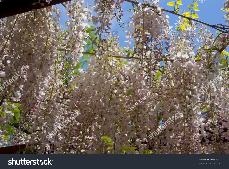 Background Cascading White Wisteria Flowers Stock Photo Royalty
