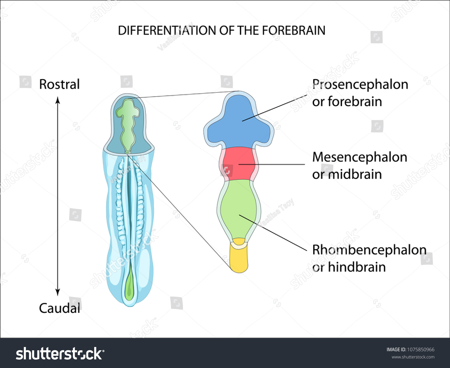 Differentiation Forebrain Neural Tube Formation Anatomy Stock Vector ...
