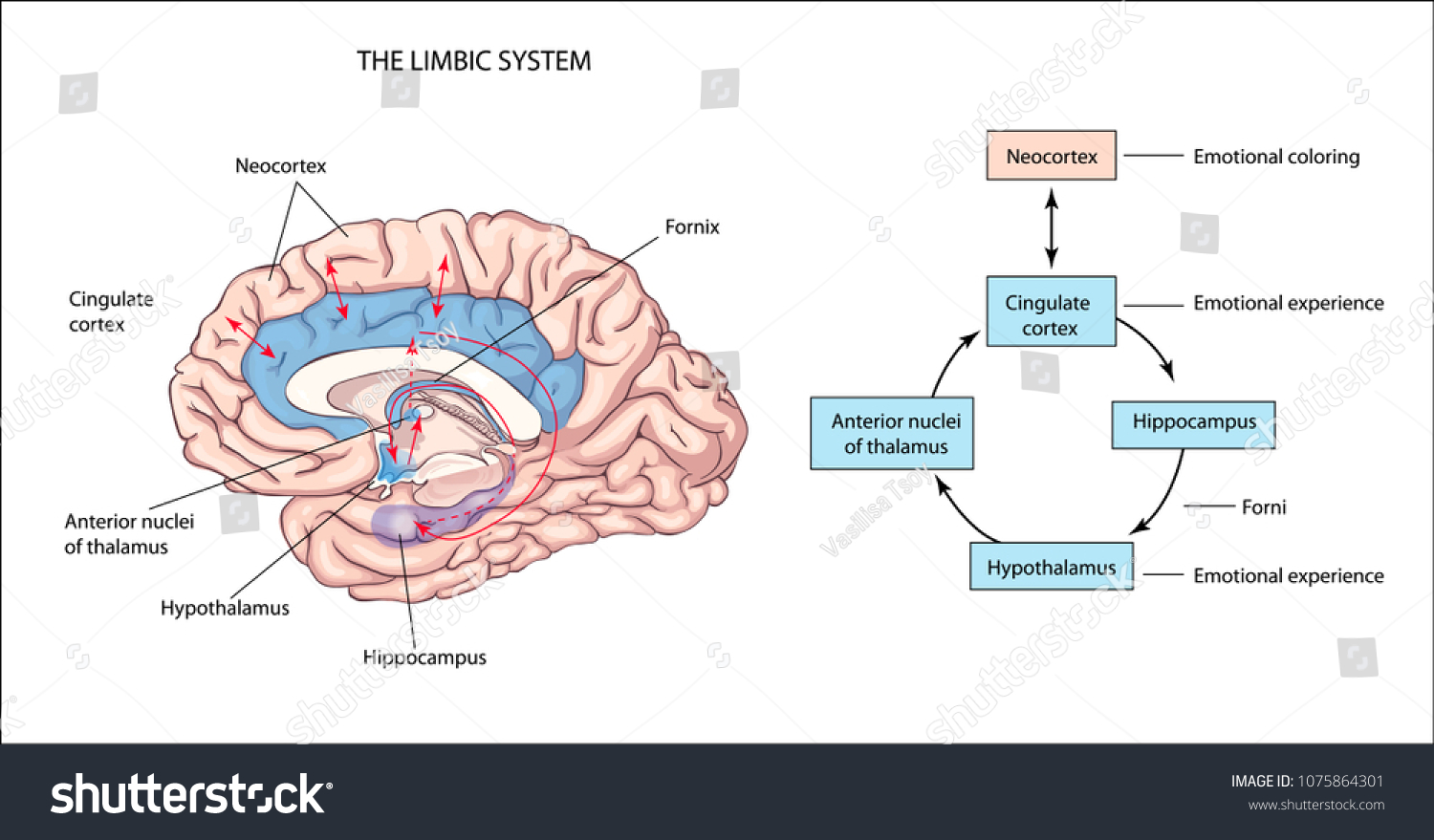 Emotional Intelligence Limbic System Anatomy Central Stock