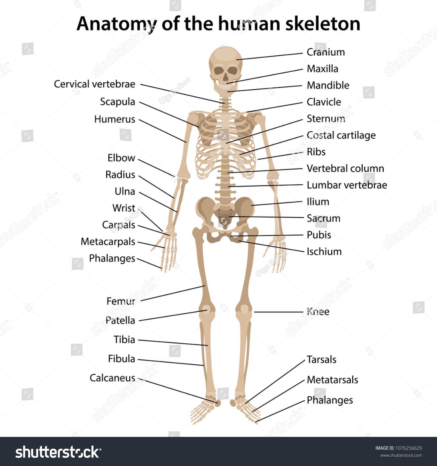 Anatomy Human Skeleton Main Parts Labeled Stock Vector Royalty Free