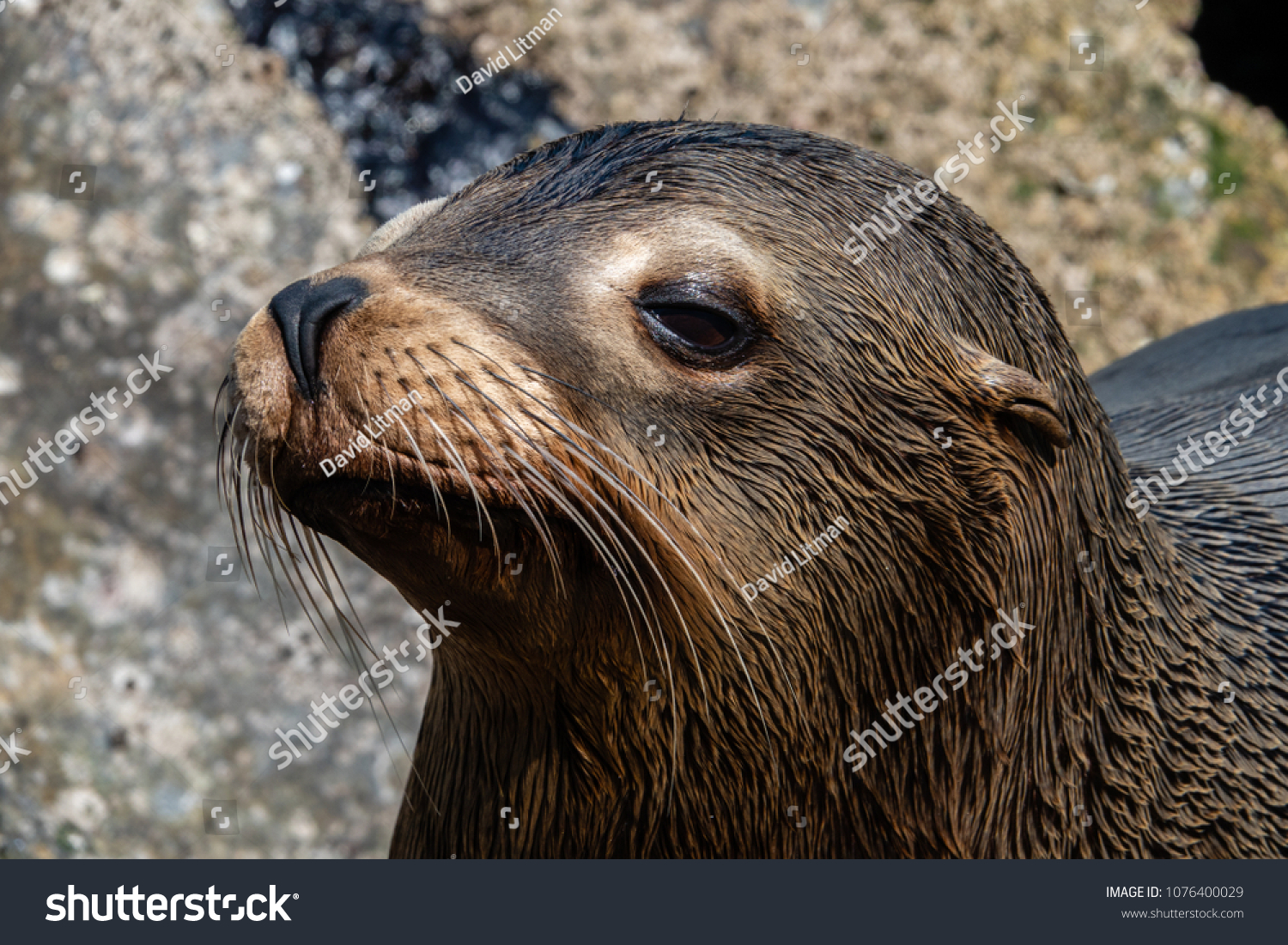 Close up of a  young California Sea Lion (Zalophus californianus) on the shore of Monterey Bay, along the Pacific coast of central California.