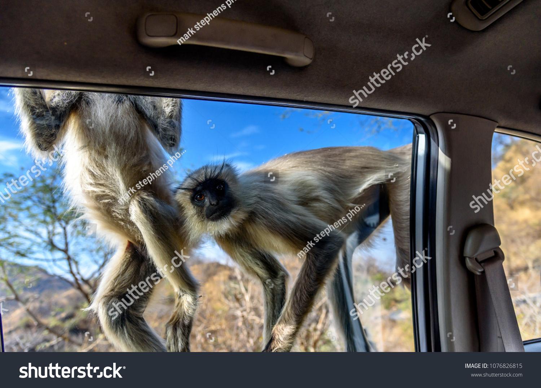 stock-photo-two-gray-langur-monkeys-tryi