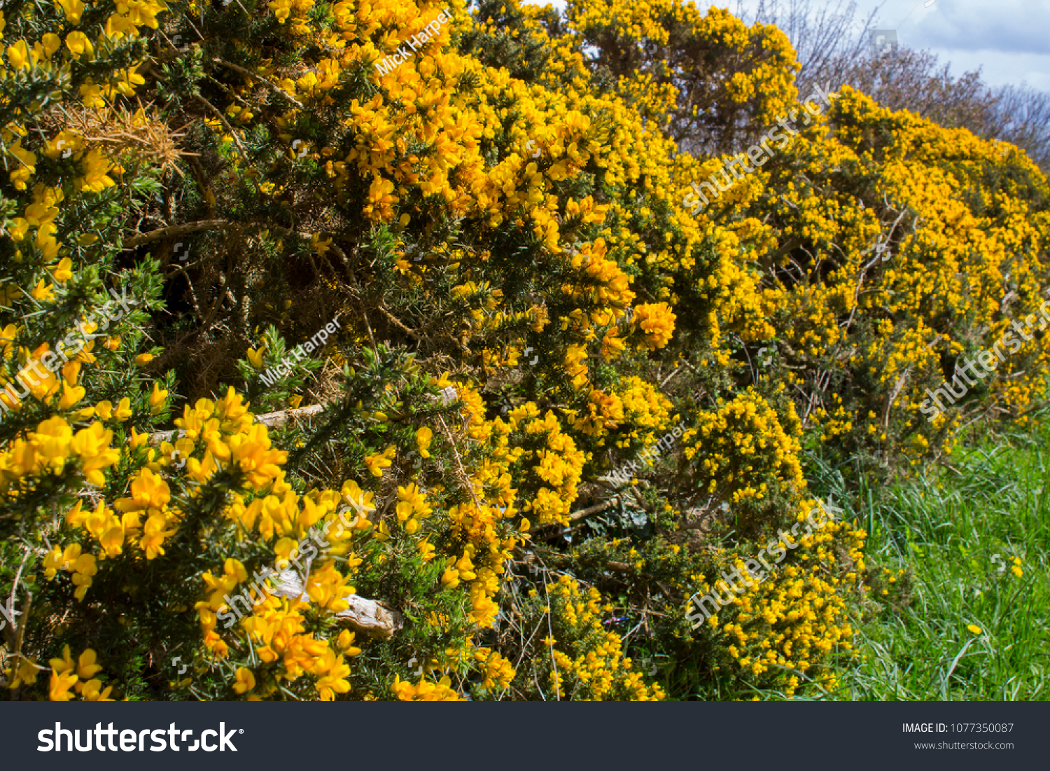Yellow Flowers On Common Whin Bush Stock Photo Edit Now 1077350087