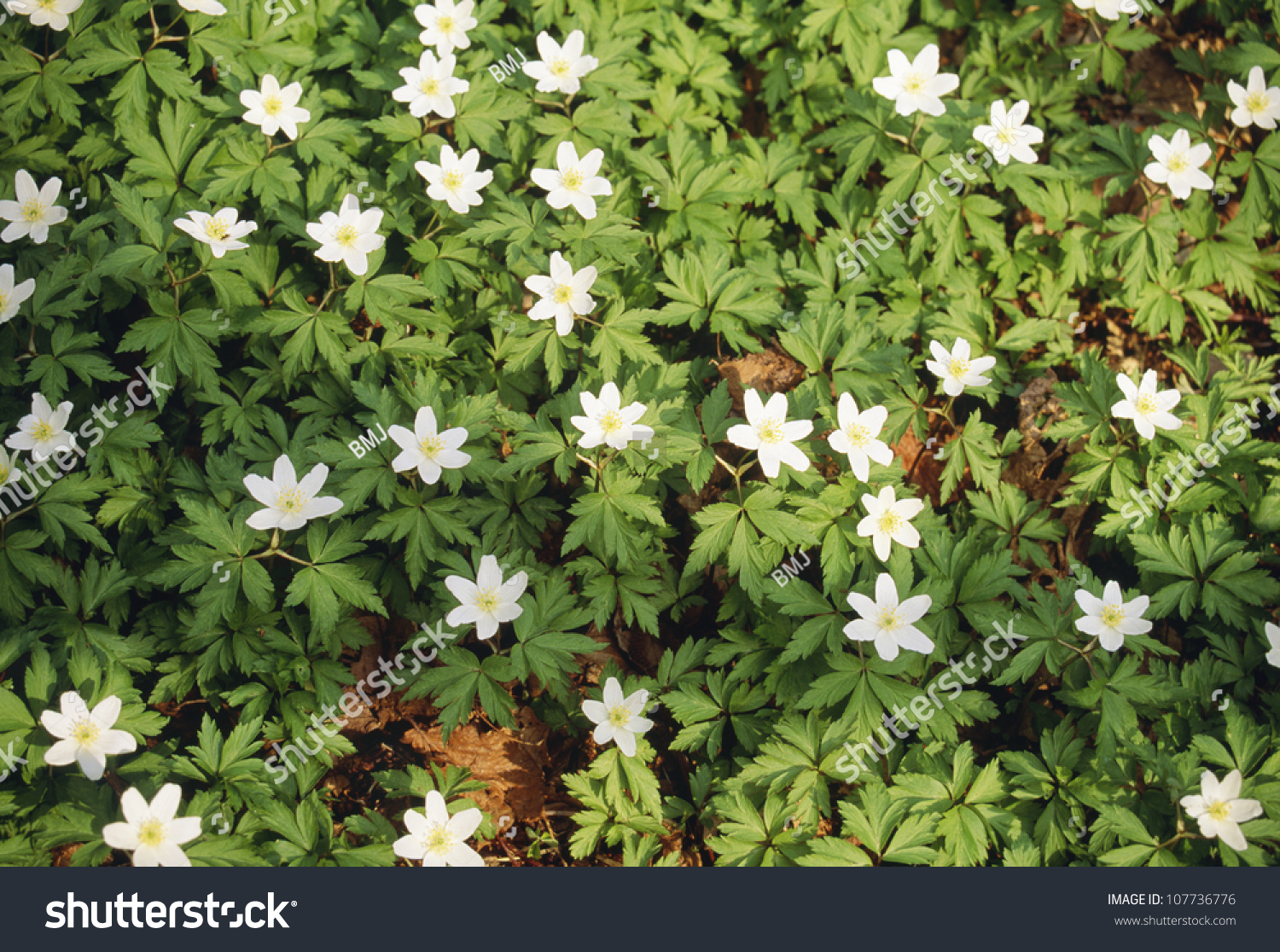 Green Plants White Flowers Stock Photo Edit Now 107736776