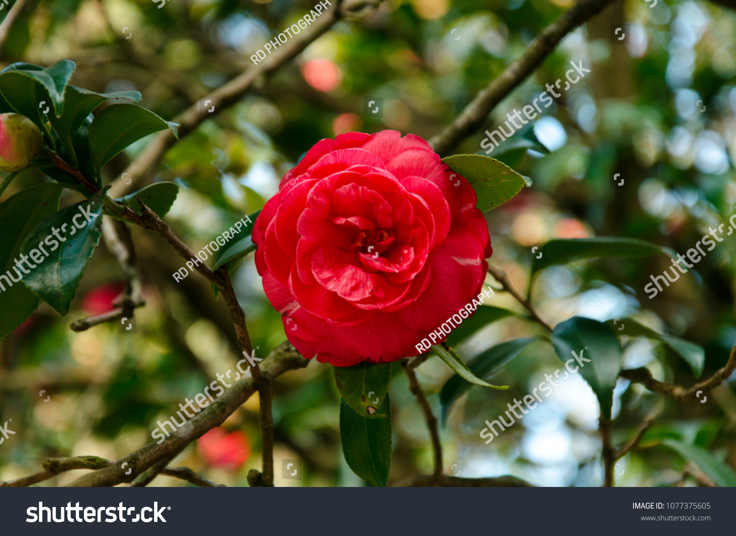 Very Beautiful Flower Looks Like Rose Stock Photo Edit Now